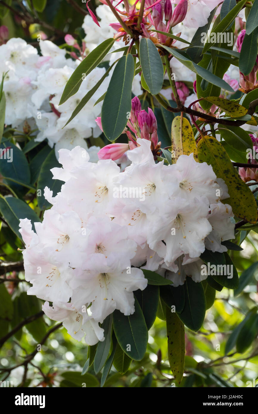 Slightly fragrant large white spring flowers emerge from pink buds slightly fragrant large white spring flowers emerge from pink buds to cover the evergreen rhododendron loders white mightylinksfo