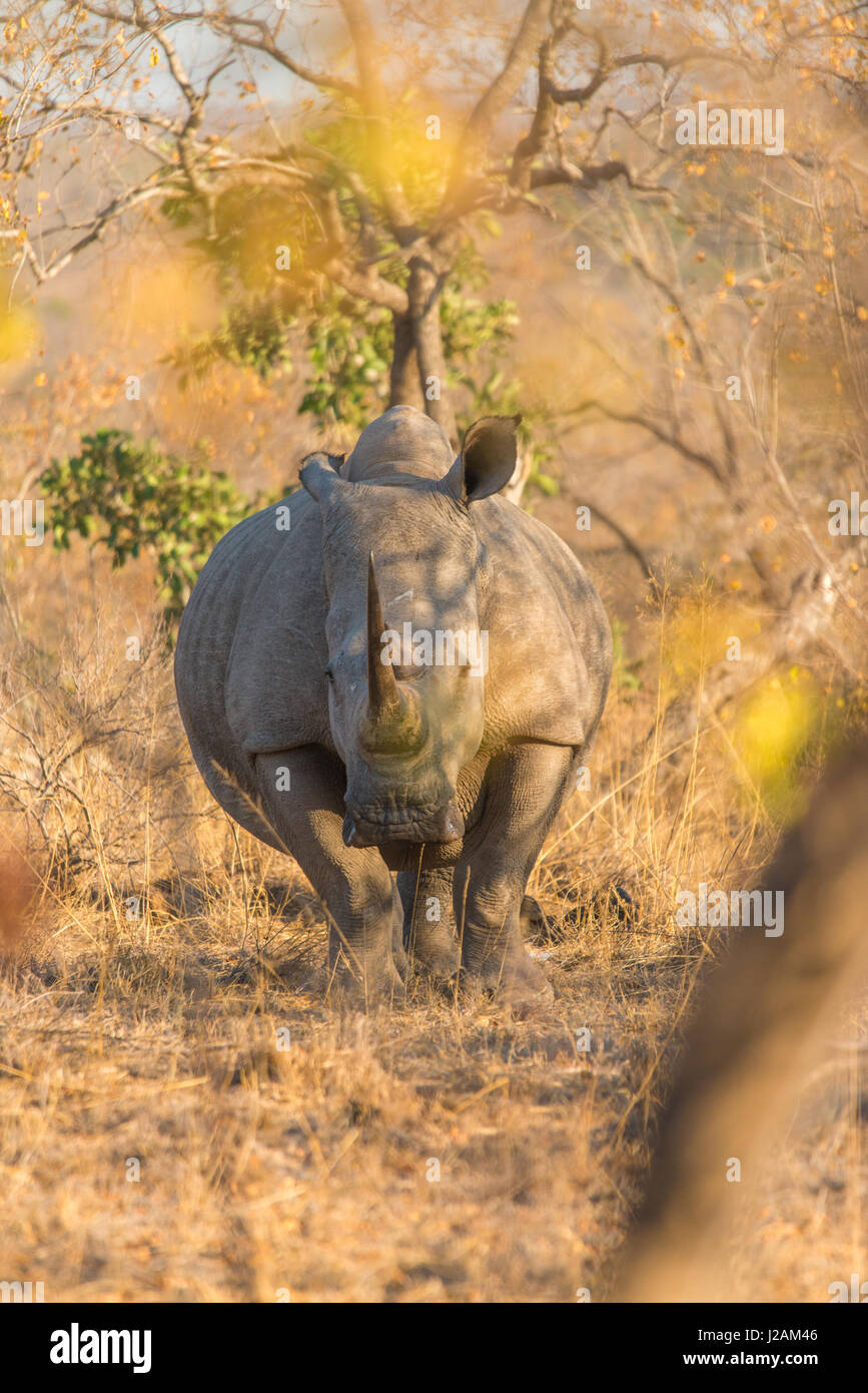 Close encounter with a pregnant african white rhino - amazing moments filled with tension and enchantment. Vertical - Stock Image