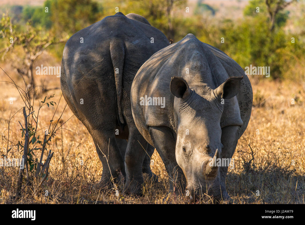 Mother rhino and cub grazing some grass in the arid south african savannah of Kruger national park. Awesome close - Stock Image