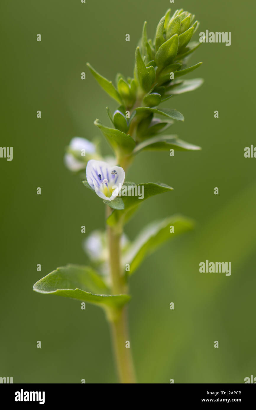 Thyme leaved speedwell veronica serpyllifolia in flower low stock thyme leaved speedwell veronica serpyllifolia in flower low growing creeping plant with blue stripes on white petals in the family plantaginaceae izmirmasajfo Images