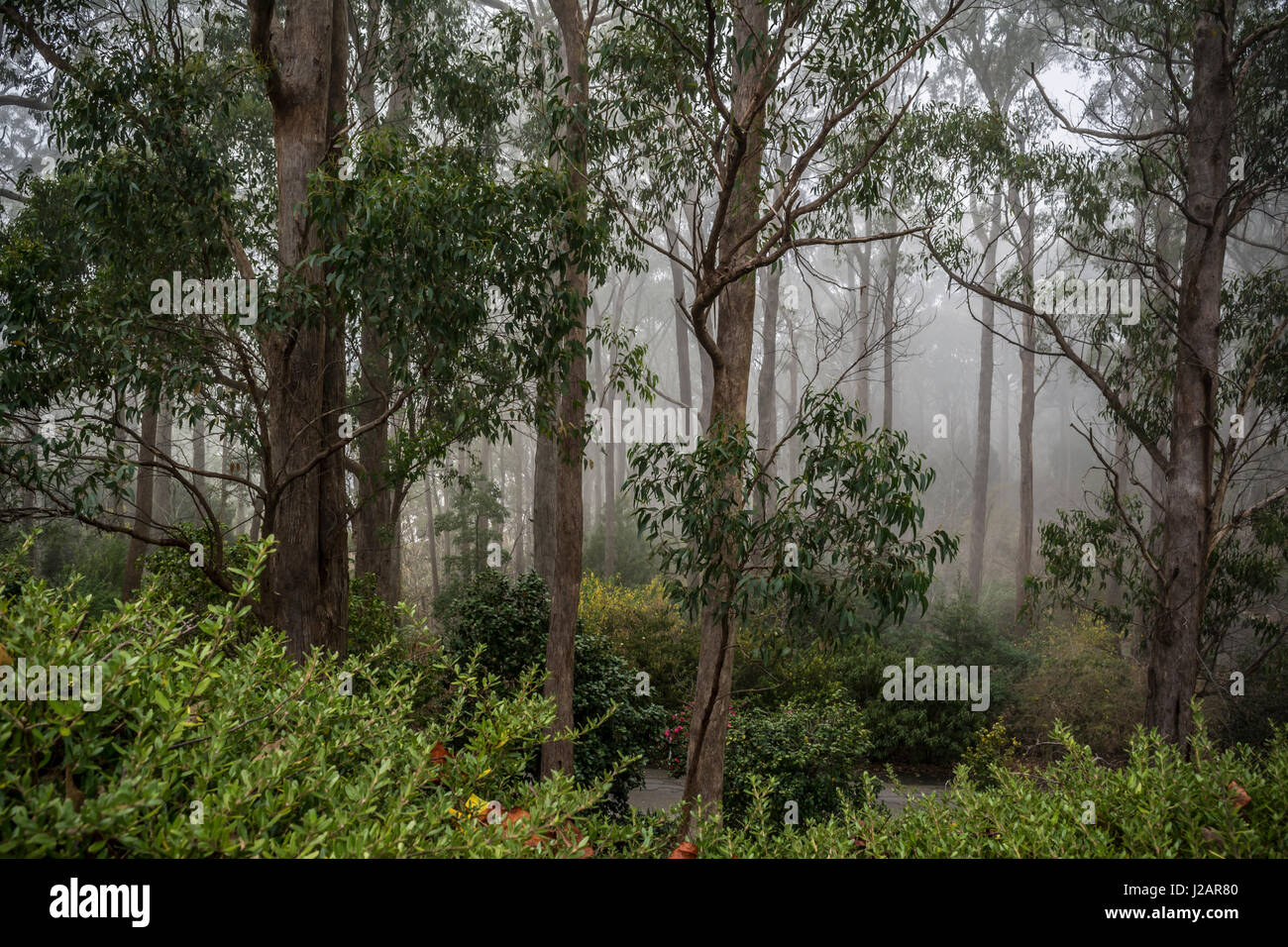 The majestic gum trees of Mount Lofty Botanic Garden, South Australia bathed in Fog. Situated in the Adelaide Hills, - Stock Image