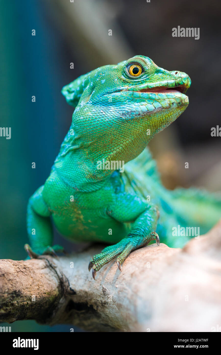 Close-up view of a green Plumed basilisk (Basiliscus plumifrons). Stock Photo