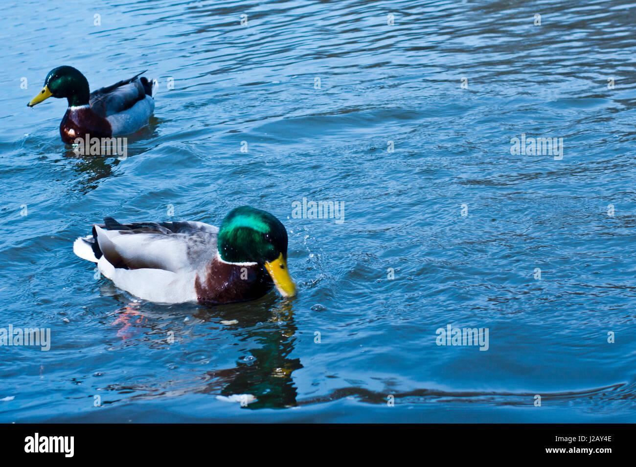 Mallard ducks swimming in a river - Stock Image