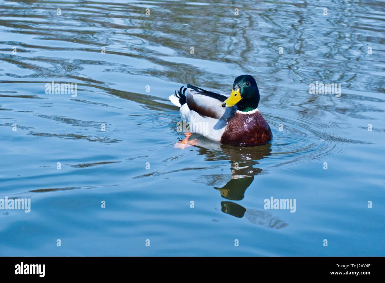 Mallard duck swimming in a river - Stock Image