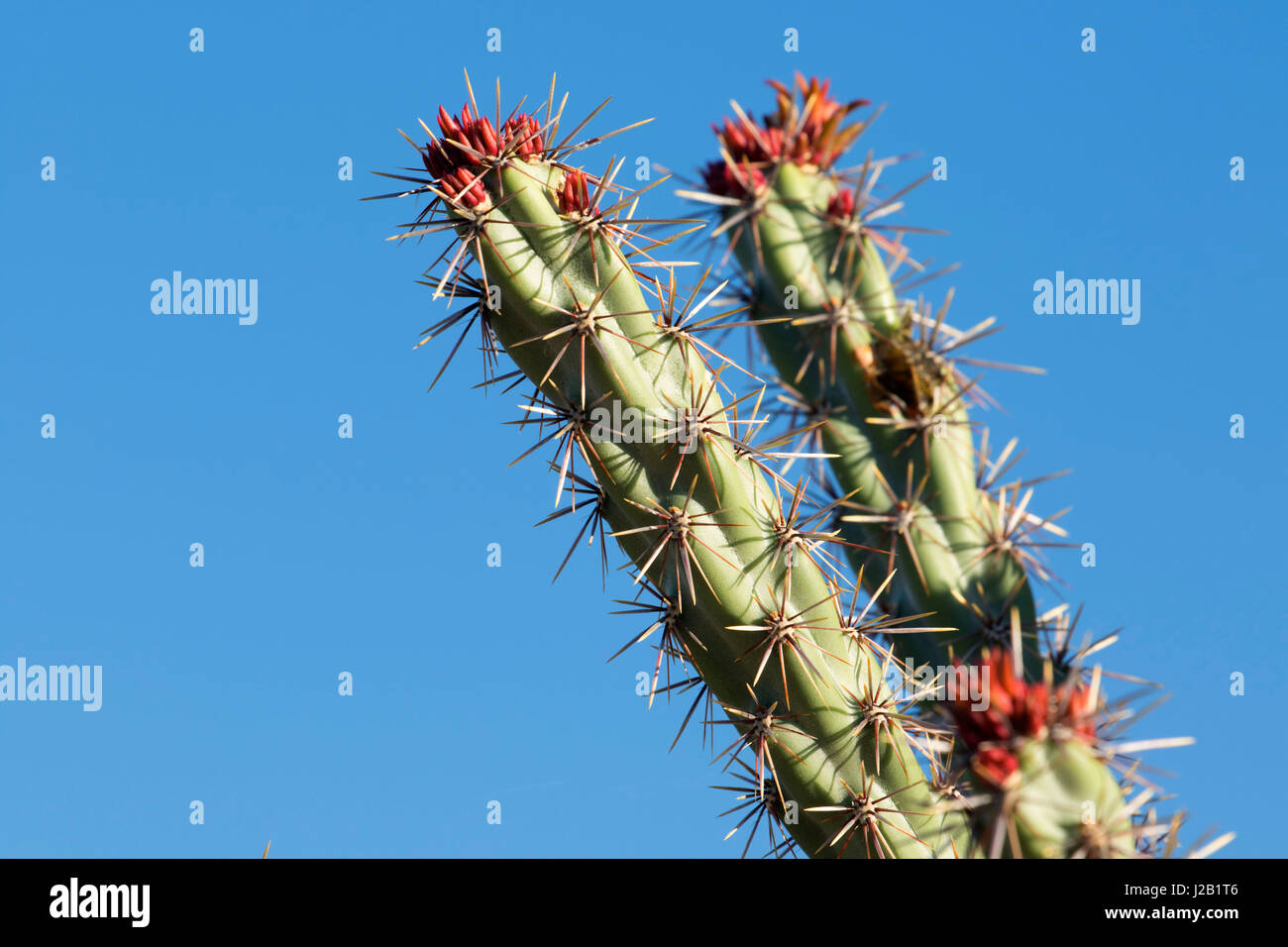 Buckhorn cholla cactus along Escondido Trail, McDowell Mountain Regional Park, Maricopa County, Arizona Stock Photo
