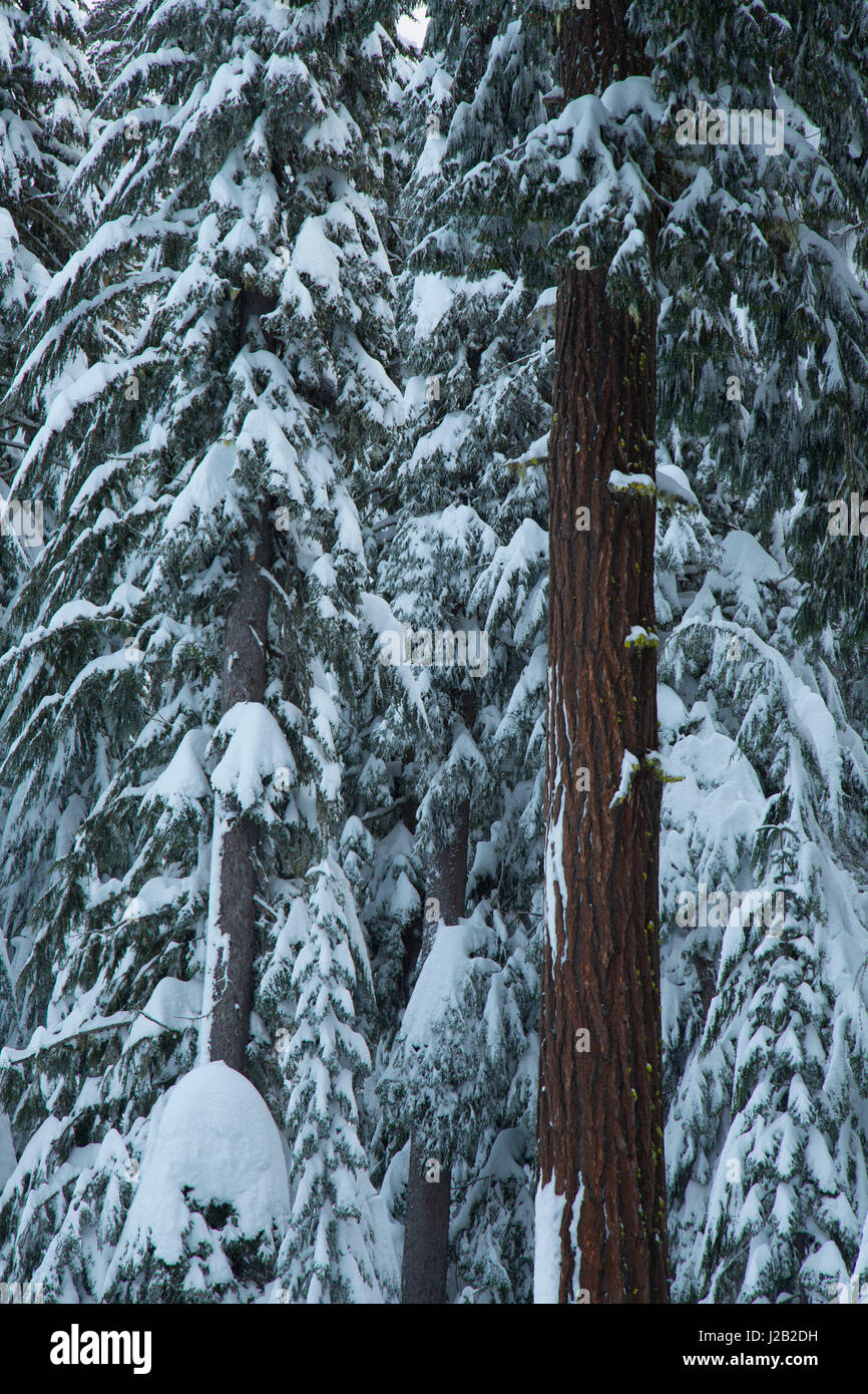 Forest at Gold Lake sno-park, Willamette National Forest, Oregon - Stock Image