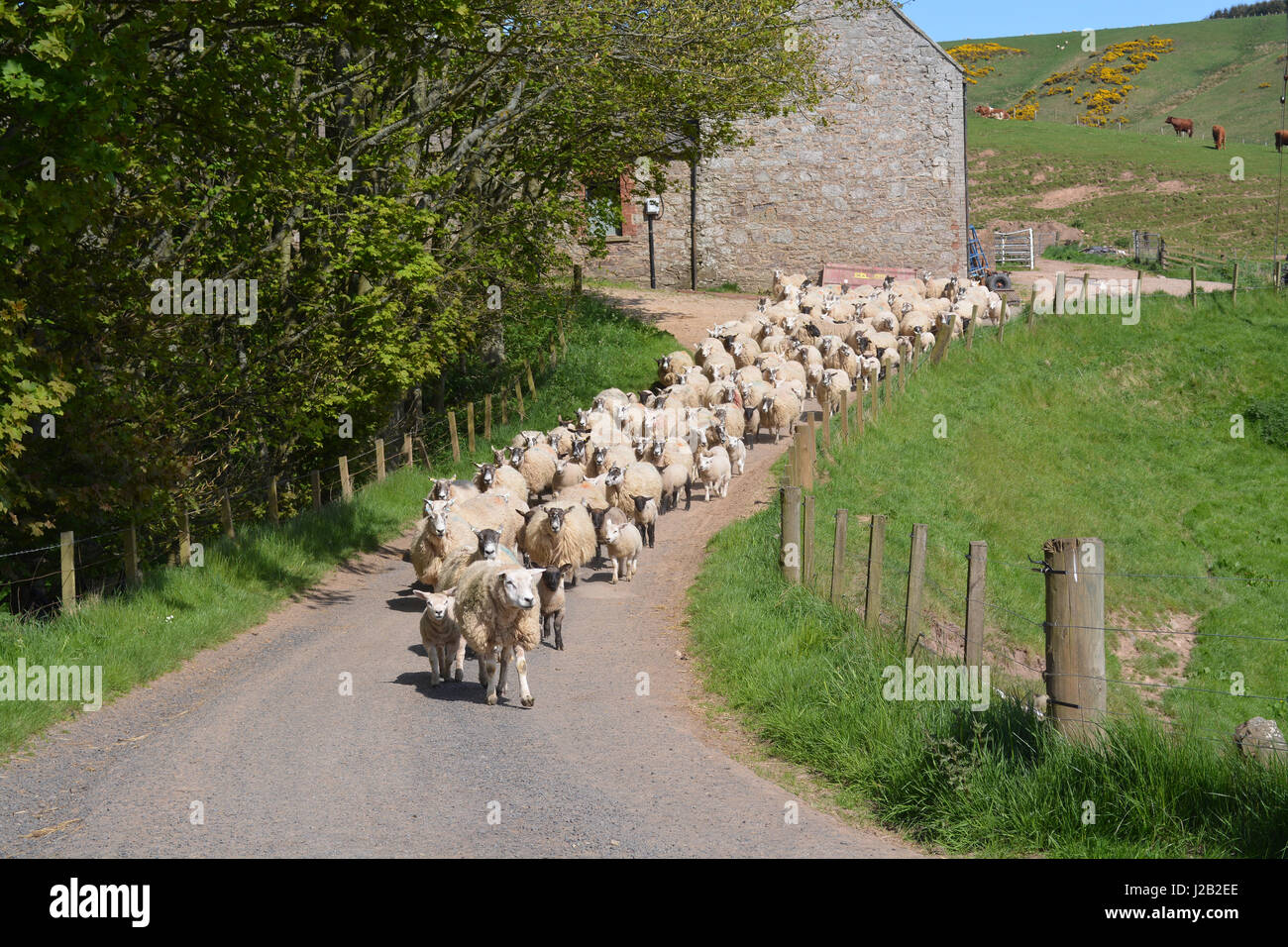 Hill sheep on road - Stock Image