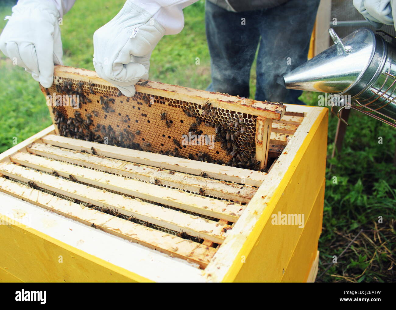 Beekeeper holds frame with honeycomb out of beehive - Stock Image