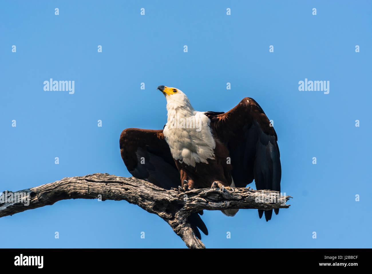 Botswana. Chobe National Park. African fish eagle (Haliaeetus vocifer) about to take flight. - Stock Image