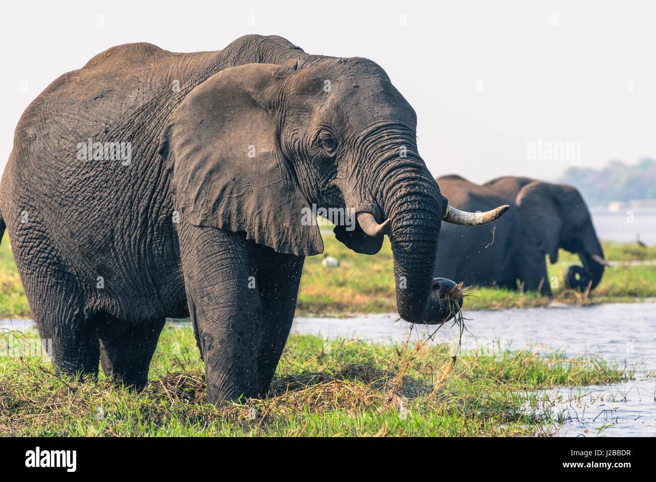 Botswana. Chobe National Park. Elephant (Loxodonta africana) grazing on an island in the Chobe River. - Stock Image