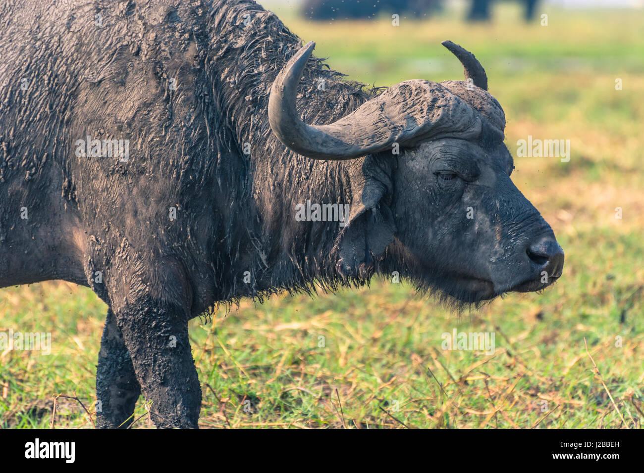 Botswana. Chobe National Park. Old male Cape Buffalo (Syncerus caffer) on the shore of the Chobe river. - Stock Image