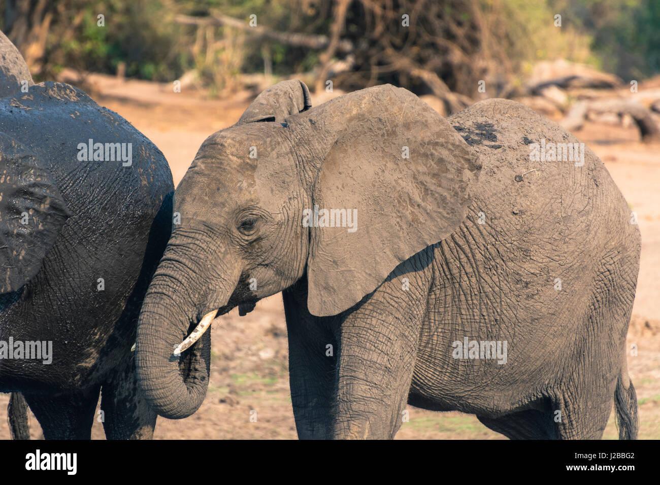 Botswana. Chobe National Park. Elephants (Loxodonta africana) drinking in the Chobe River. - Stock Image