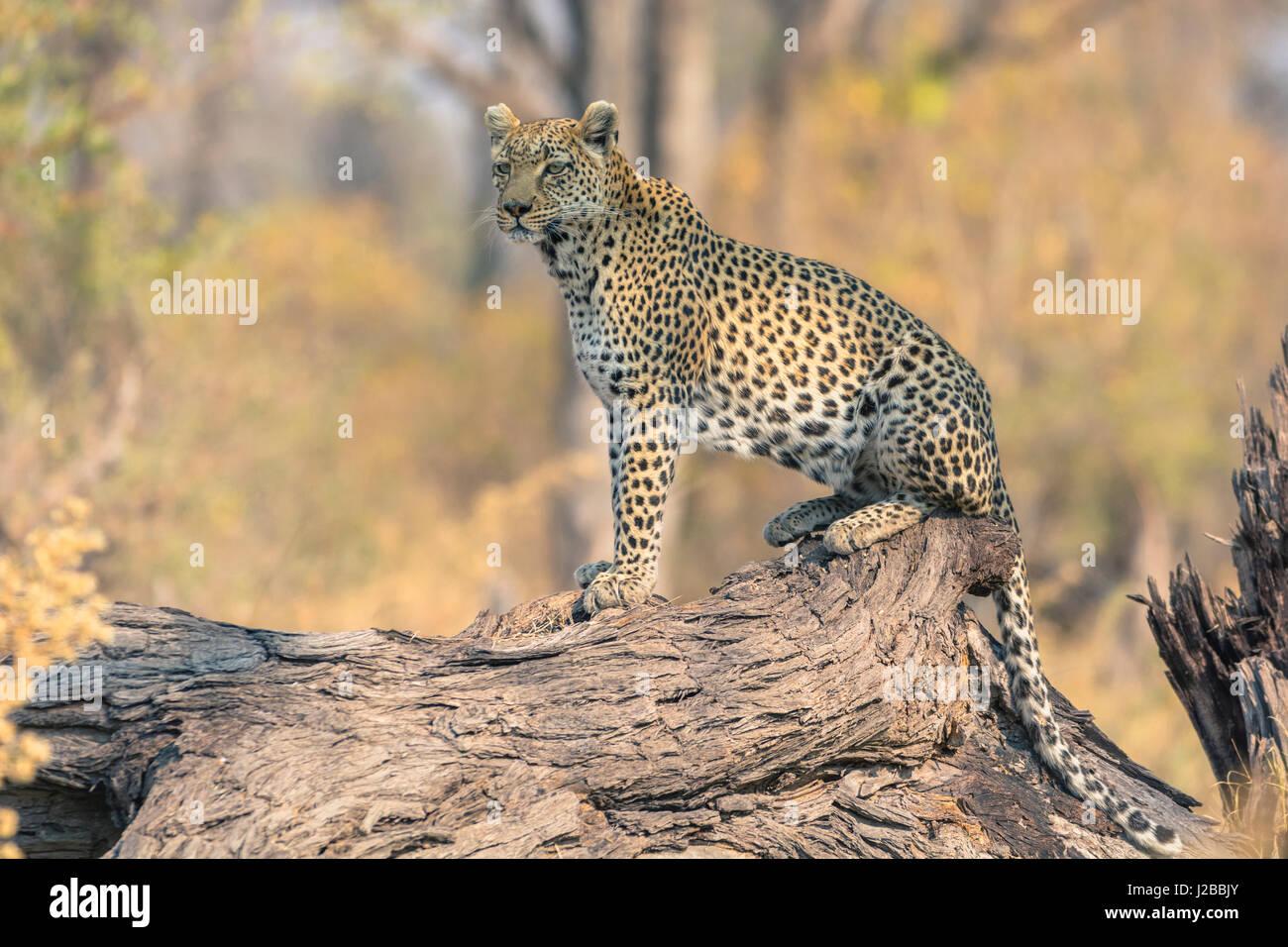 Botswana. Okavango Delta. Khwai concession. Leopard (Panthera pardus) looks out for prey on a fallen log. - Stock Image
