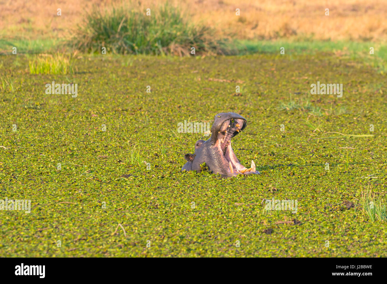 Botswana. Okavango Delta. Khwai concession. Herd of hippos (Hippopotamus amphibius) yawning in the Khwai river. - Stock Image