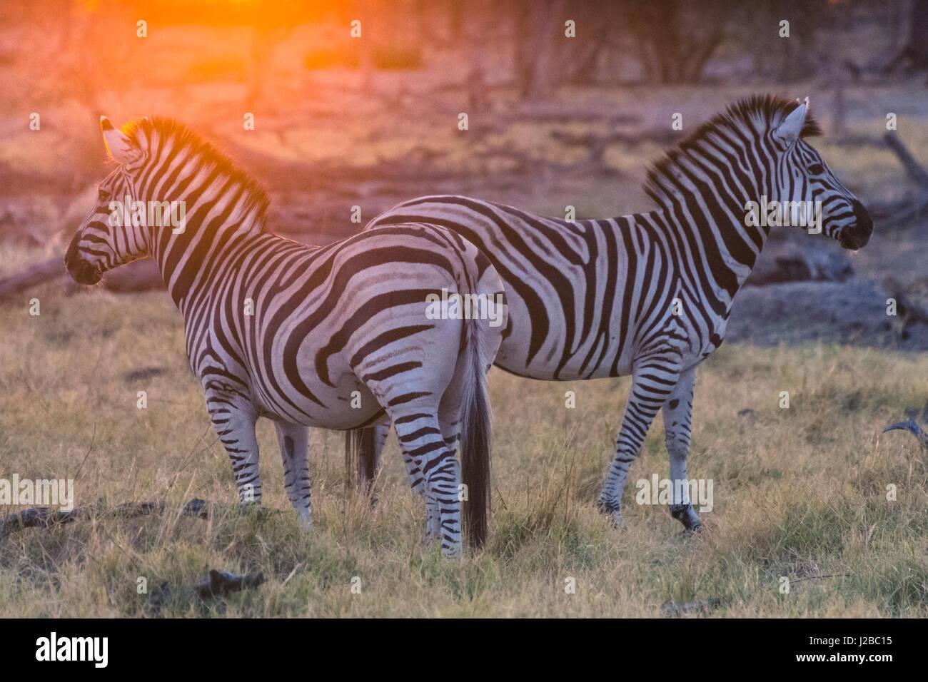 Botswana. Okavango Delta. Khwai concession. Burchell's zebra (Equus quagga burchellii) at sunrise - Stock Image