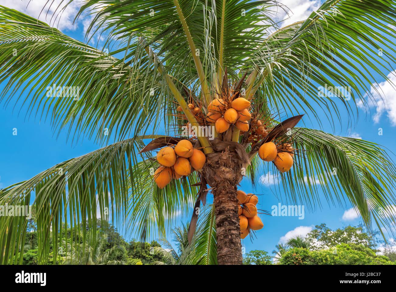 Orange coconut on palm tree - Stock Image