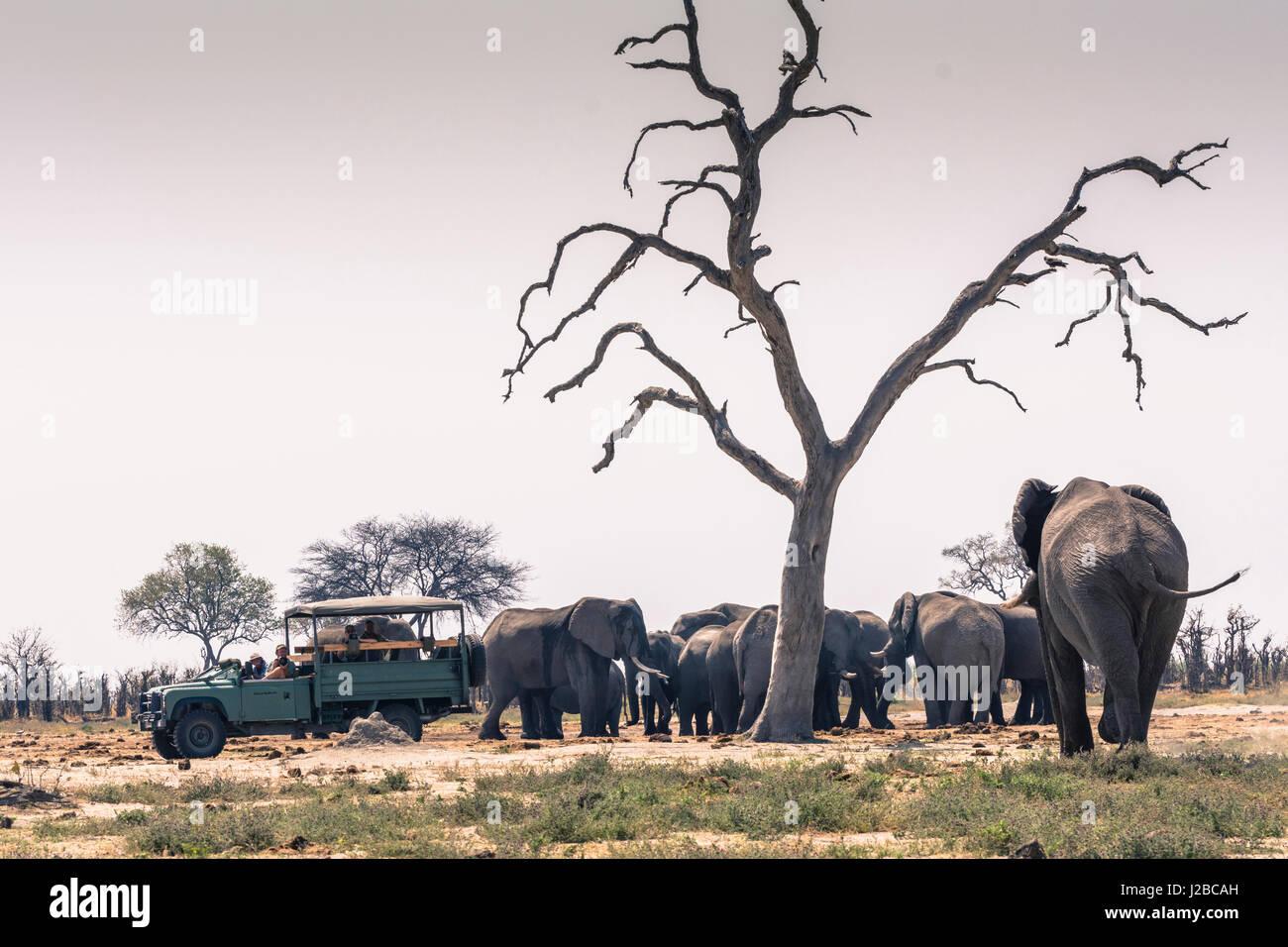 Botswana. Chobe National Park. Savuti. Safari vehicle and a herd of elephants. - Stock Image