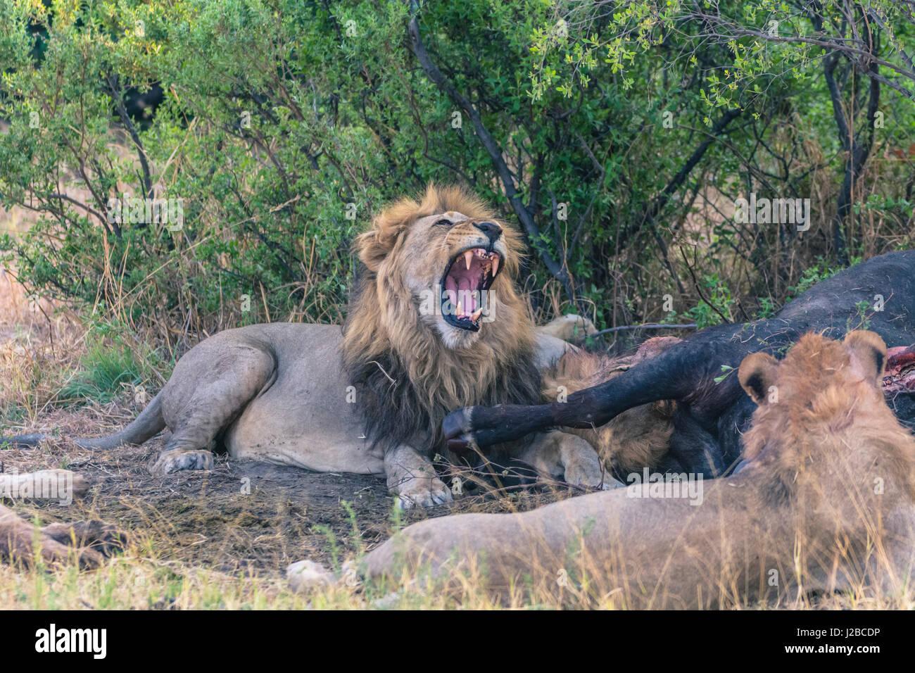 Botswana. Chobe National Park. Savuti. Male lion yawning while the pride eats a Cape buffalo. - Stock Image