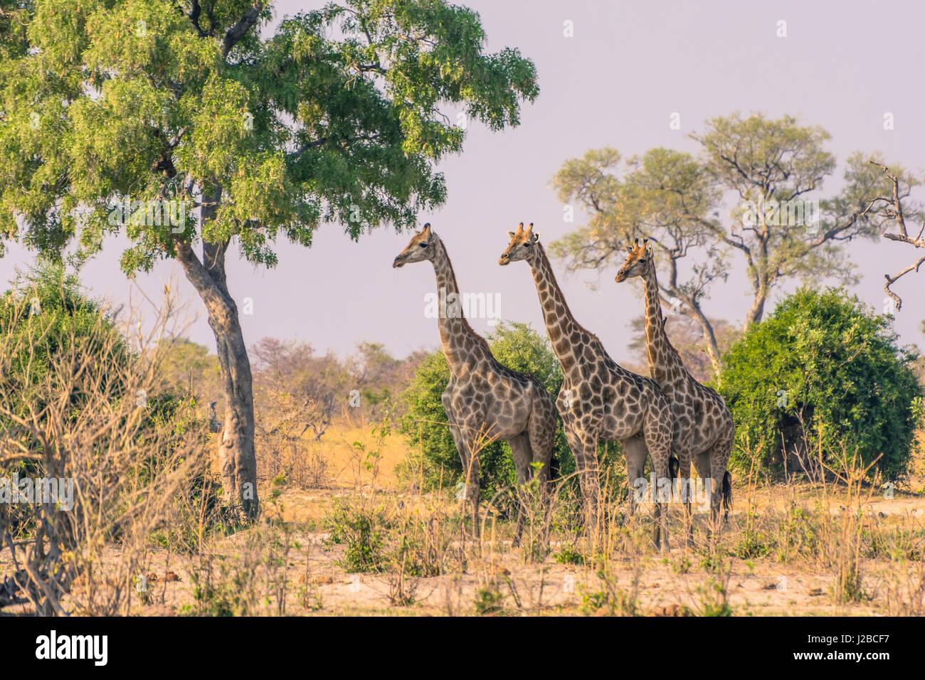 Botswana. Chobe National Park. Savuti. Giraffes intently watching a hidden lion in the bush. - Stock Image
