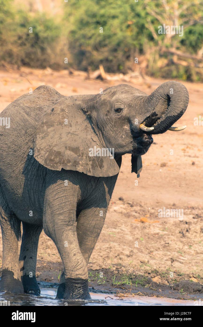 Botswana. Chobe National Park. Elephant (Loxodonta africana) drinking in the Chobe River. - Stock Image