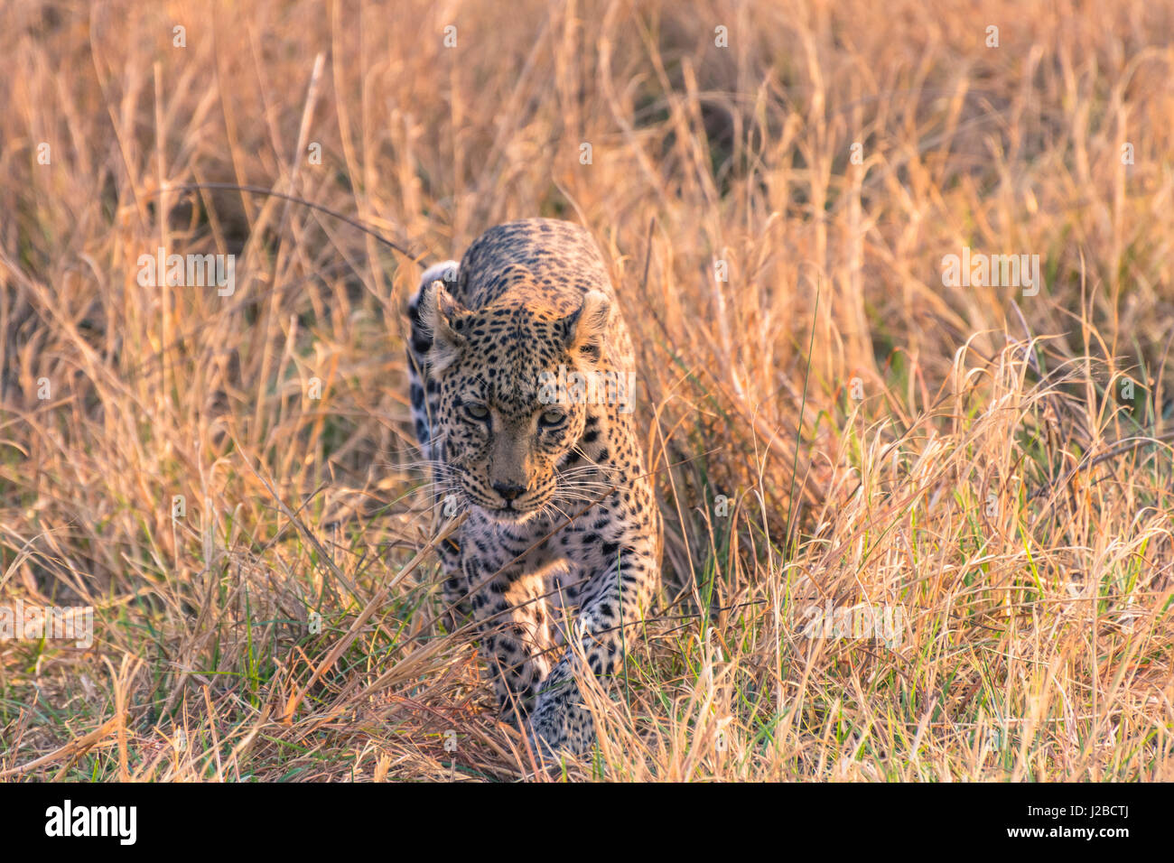 Botswana. Okavango Delta. Khwai Concession. Female leopard (Panthera pardus) in the tall grass. - Stock Image