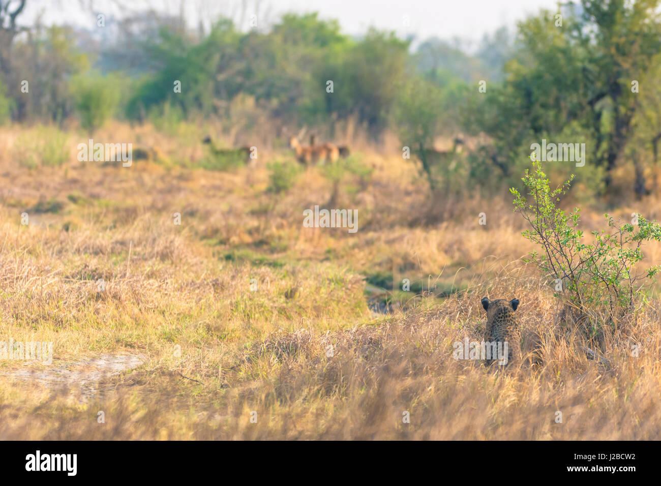 Botswana. Okavango Delta. Khwai Concession. Female leopard (Panthera pardus) in the tall grass stalking reedbuck. - Stock Image