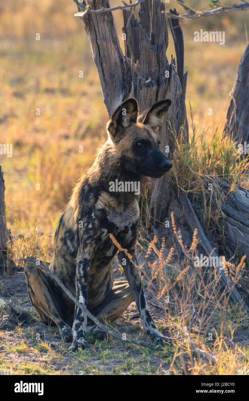 Botswana. Okavango Delta. Khwai Concession. Pack of African wild dogs (Lycaon pictus) resting. - Stock Image