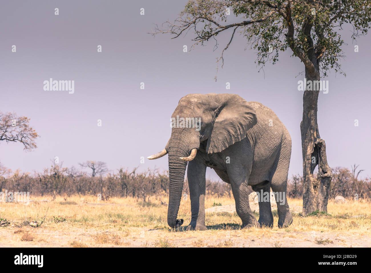 Botswana. Chobe National Park. Savuti. Elephant (Loxodonta africana) walking towards a water hole. - Stock Image