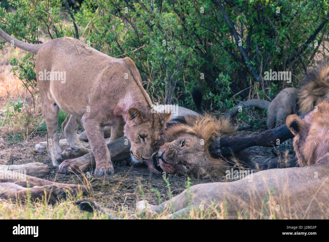 Botswana. Chobe National Park. Savuti. Greeting ritual among members of a lion pride. - Stock Image