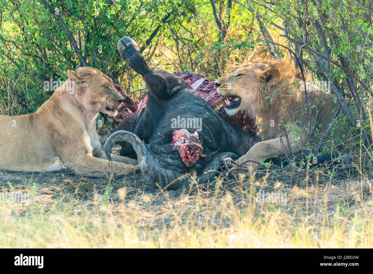 Botswana. Chobe National Park. Savuti. Pride of lions eating a Cape buffalo. - Stock Image