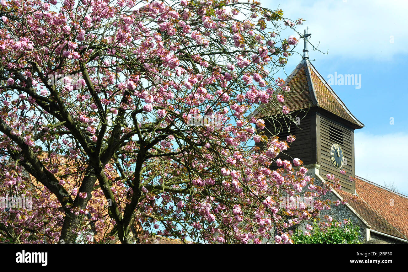 Springtime tree pink blossom backdrop Hurley on Thames  rustic church tower sunshine and blue sky - Stock Image