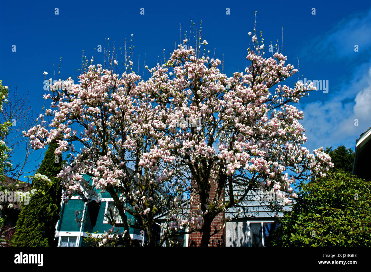 Magnolia blossoms in spring time bloom Stock Photo