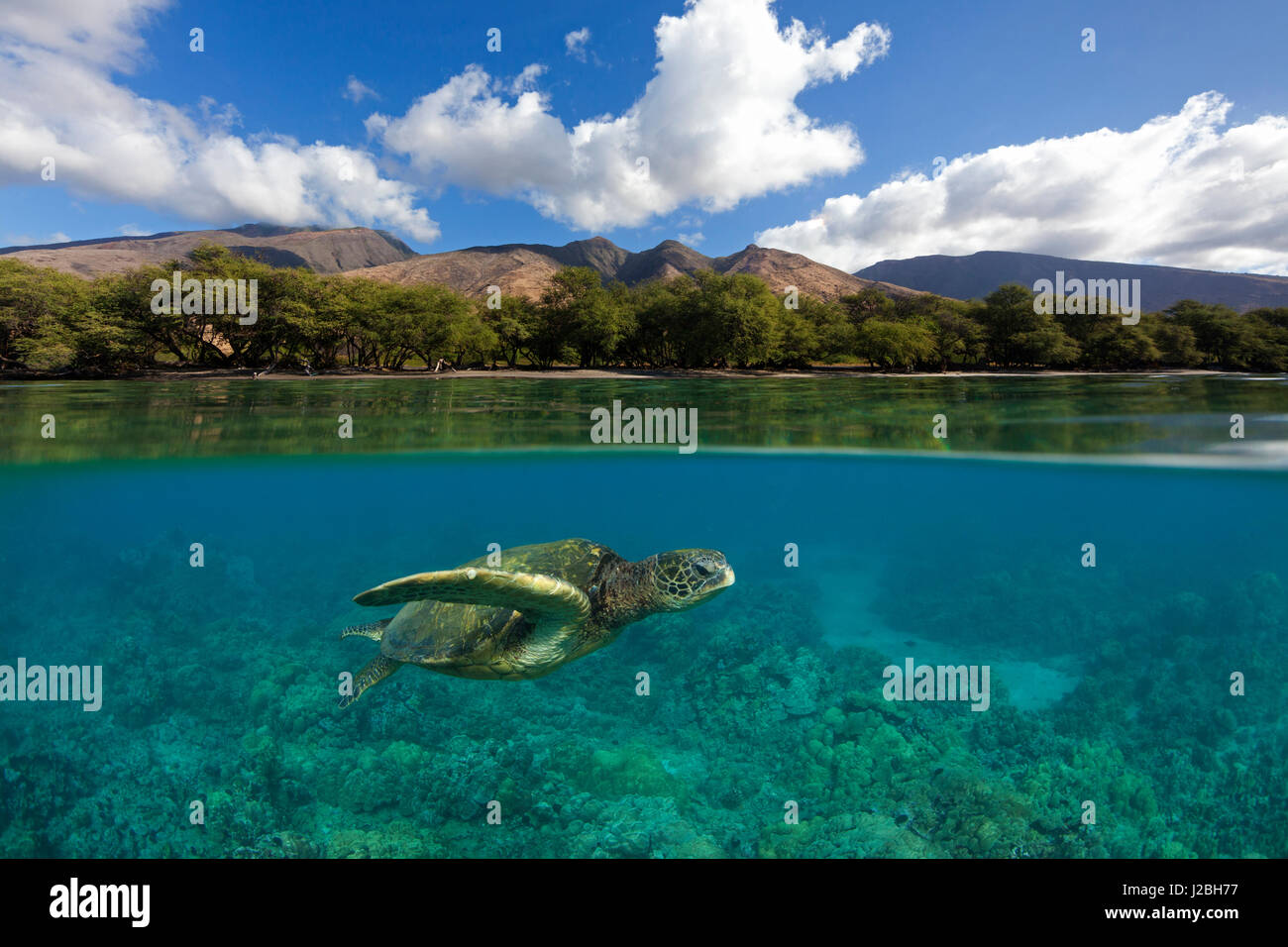 Green sea turtle swims over coral at Olowalu, Maui with the West Maui Mountains in the distance. - Stock Image