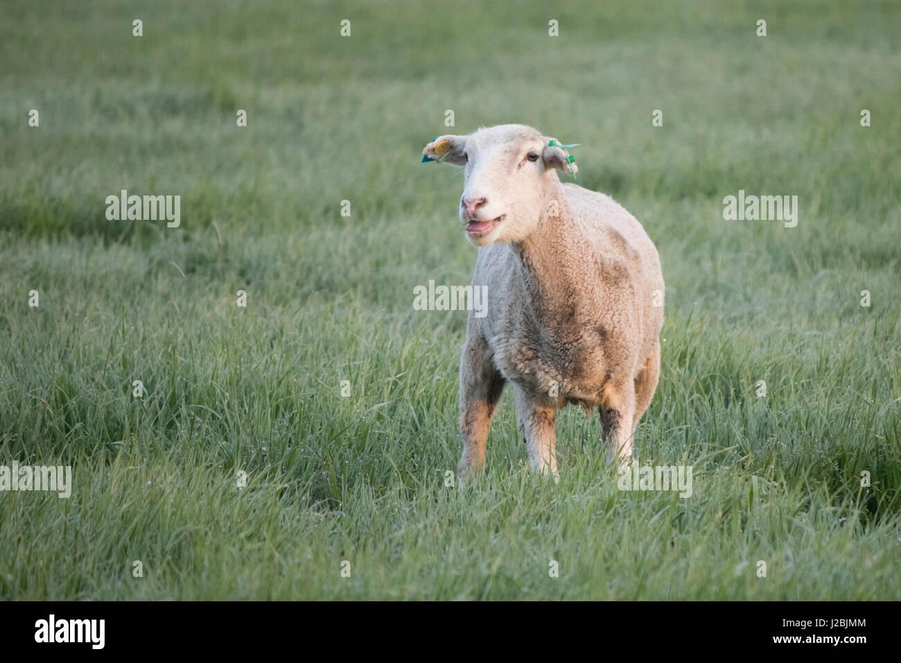 One ewe standing in a dewy field - Stock Image