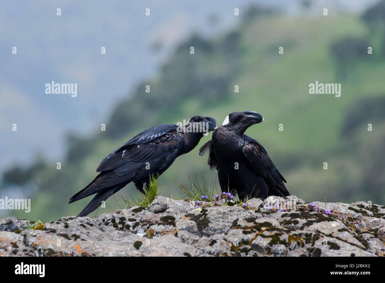 Africa, Ethiopian Highlands, Western Amhara, Simien Mountains National Park, Thick-billed ravens, (Corvus crassirostris). - Stock Image