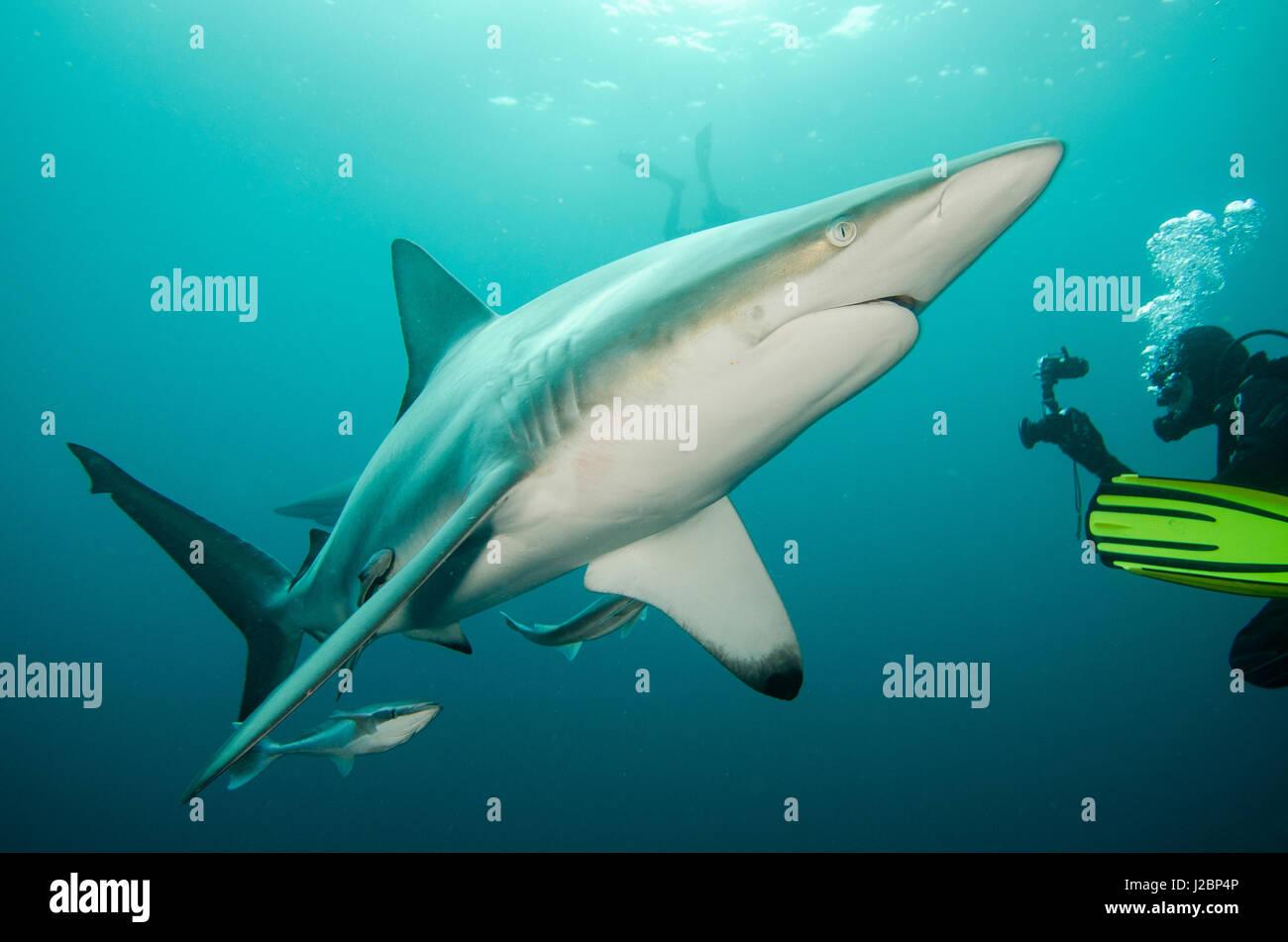 Oceanic Black-tip shark (Carcharhinus limbatus) and Remora (Remora remora) and Diver, shark dive, Umkomaas, KwaZulu Stock Photo