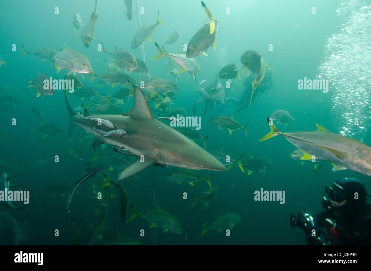 Oceanic Black-tip shark (Carcharhinus limbatus) and Remora (Remora remora) and Kingfish (Caranx heberi) diver, shark Stock Photo