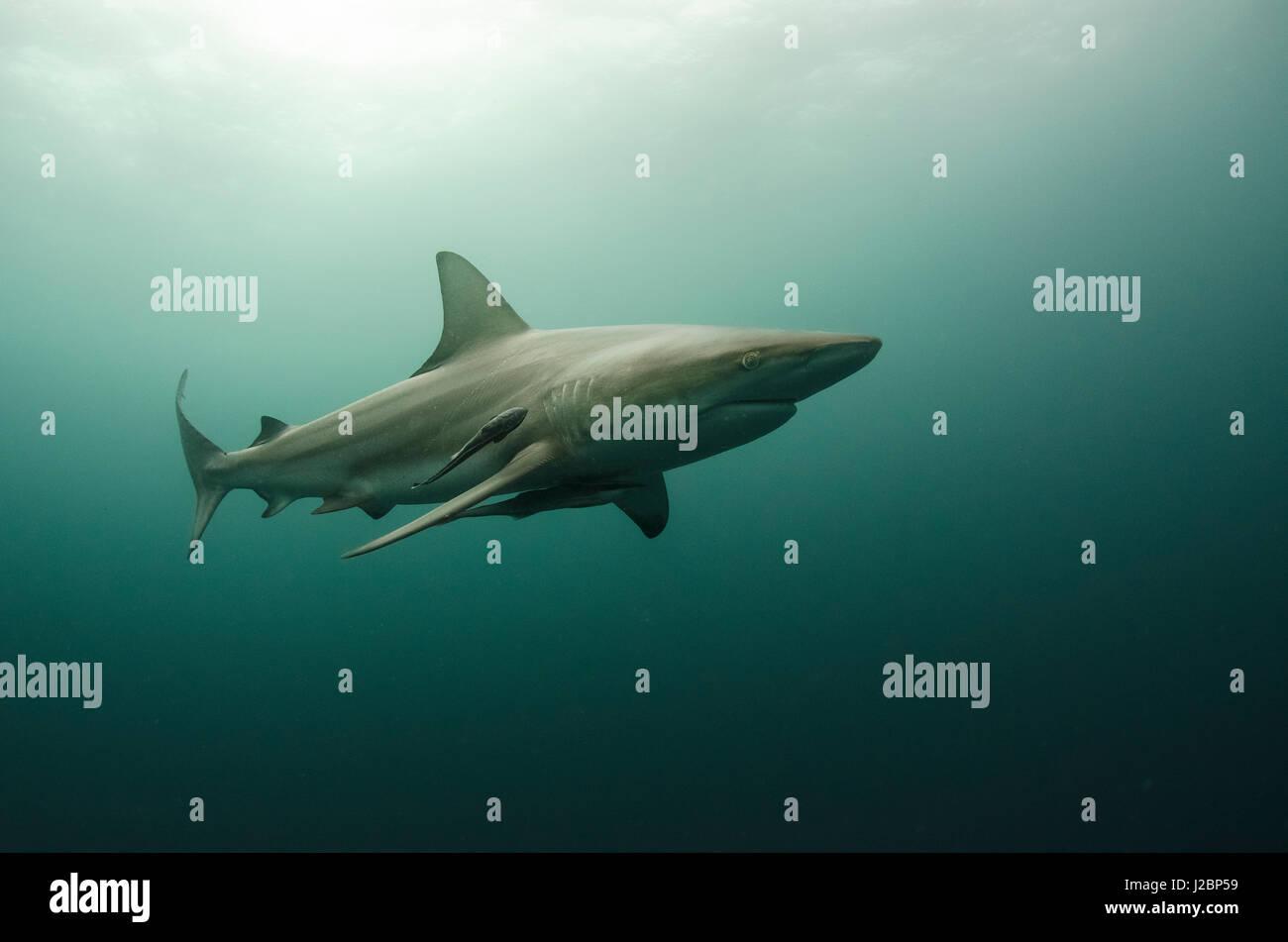 Oceanic Black-tip shark (Carcharhinus limbatus) and Remora, shark dive, Umkomaas, KwaZulu-Natal, South Africa Stock Photo