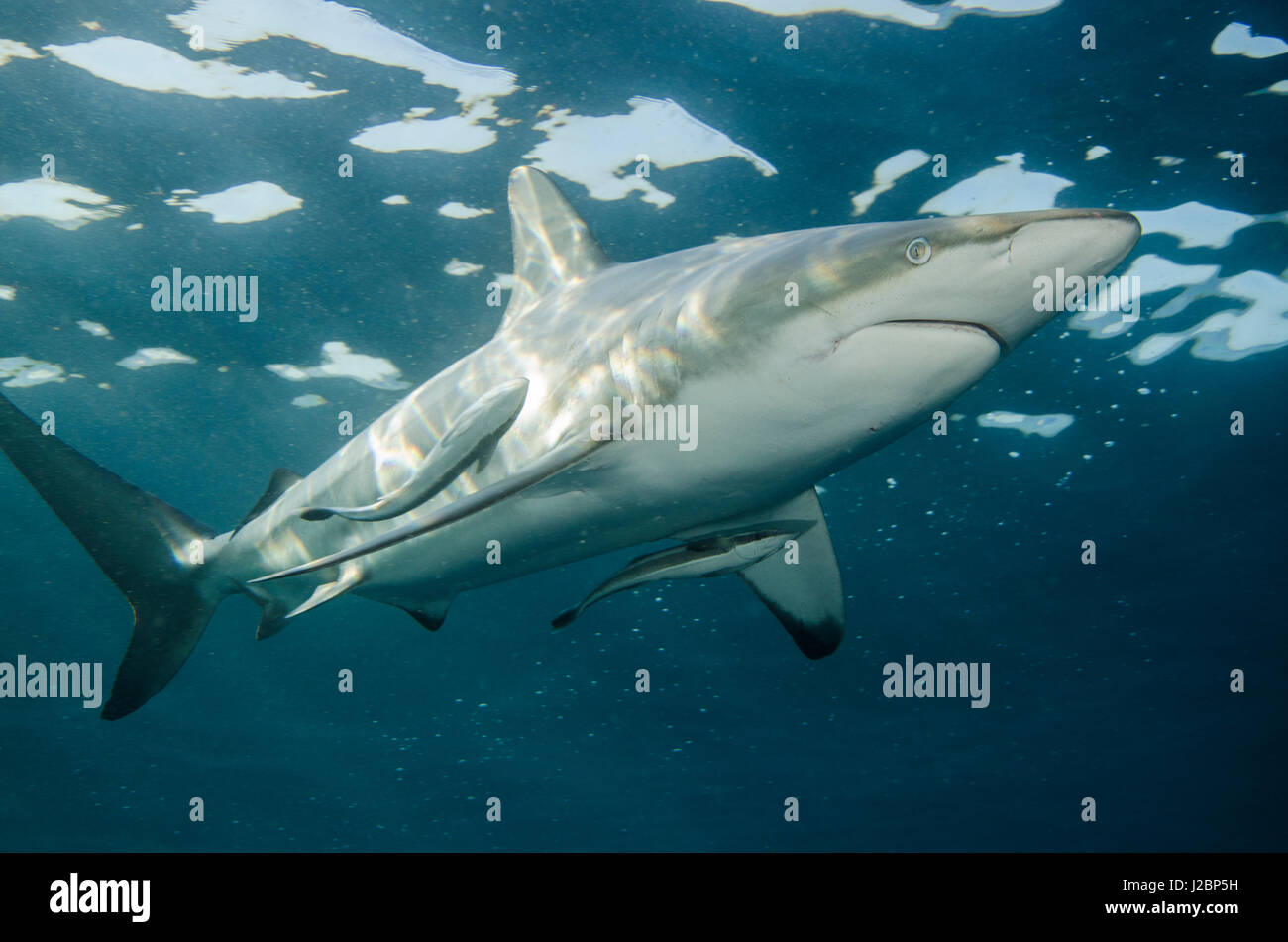 Oceanic Black-tip shark (Carcharhinus limbatus) and Remora, shark dive, Umkomaas, KwaZulu-Natal, South Africa Stock Photo