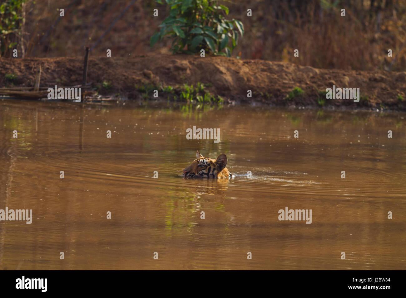 Royal Bengal Tiger, sub-merged in the water, Tadoba Andheri Tiger Reserve, India - Stock Image