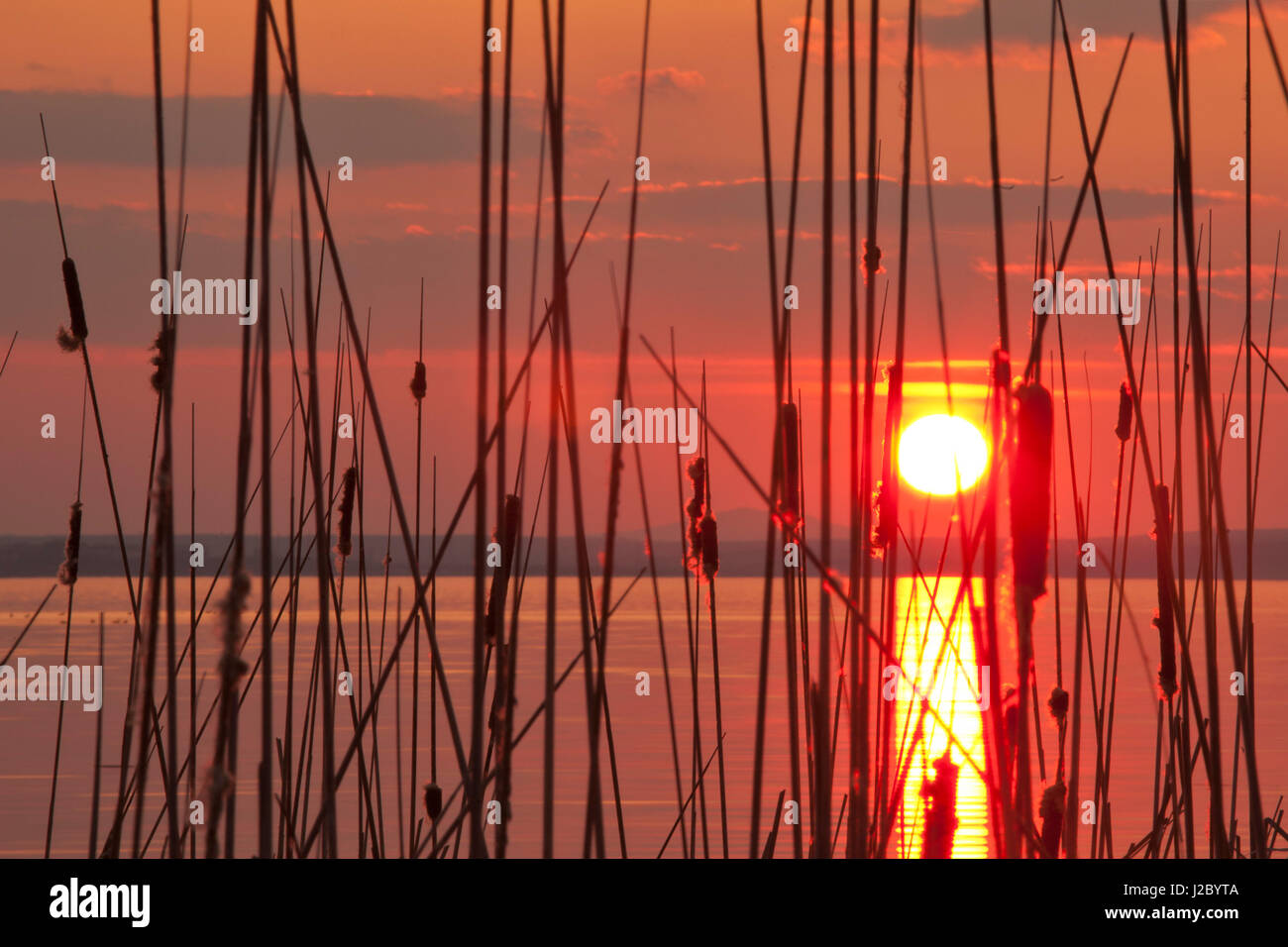 Reed curtain by the lake at sunset - Stock Image
