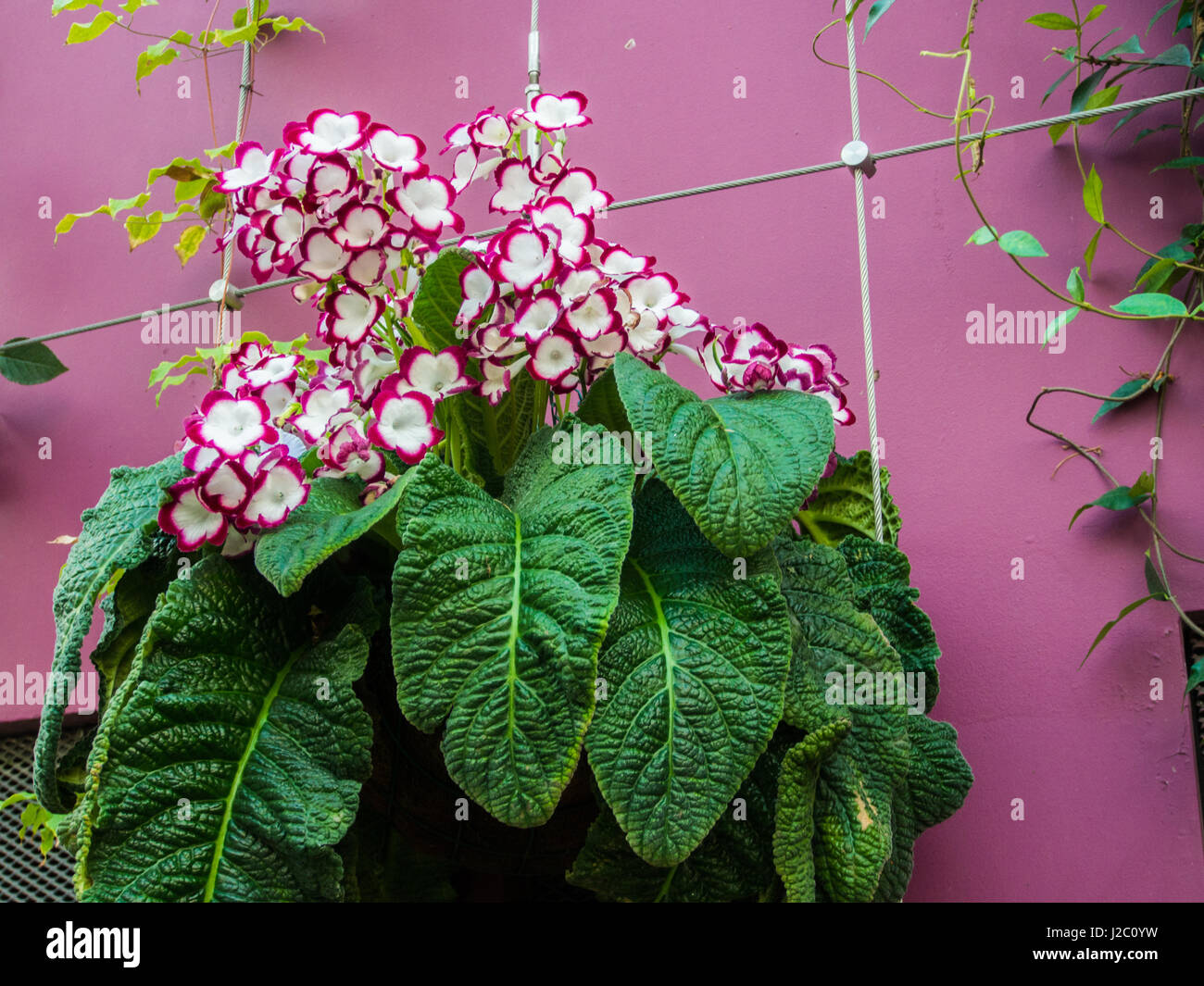 Beautiful Flower in Flower Dome, Singapore - Stock Image