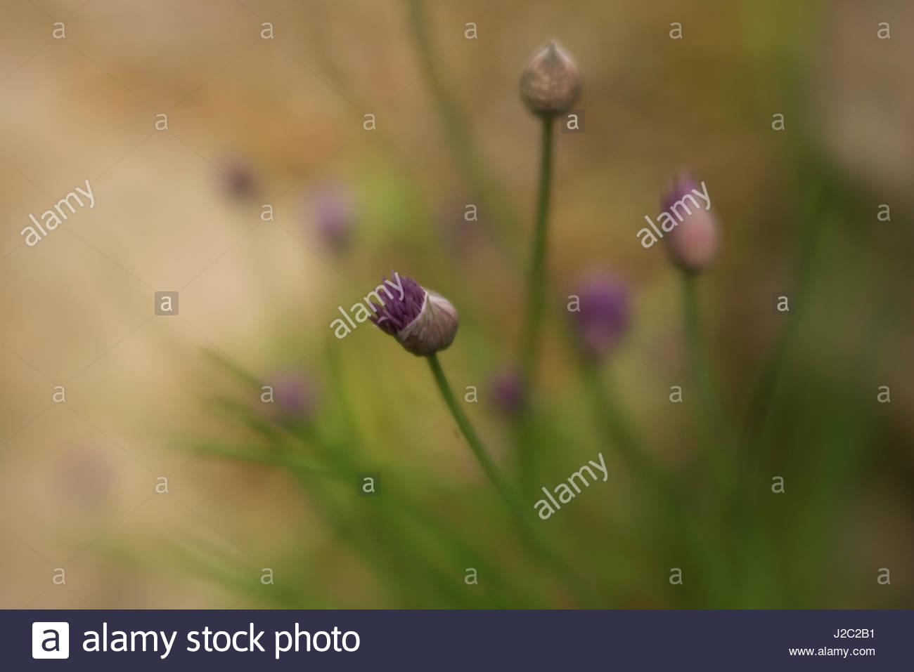 bursting chive - Stock Image
