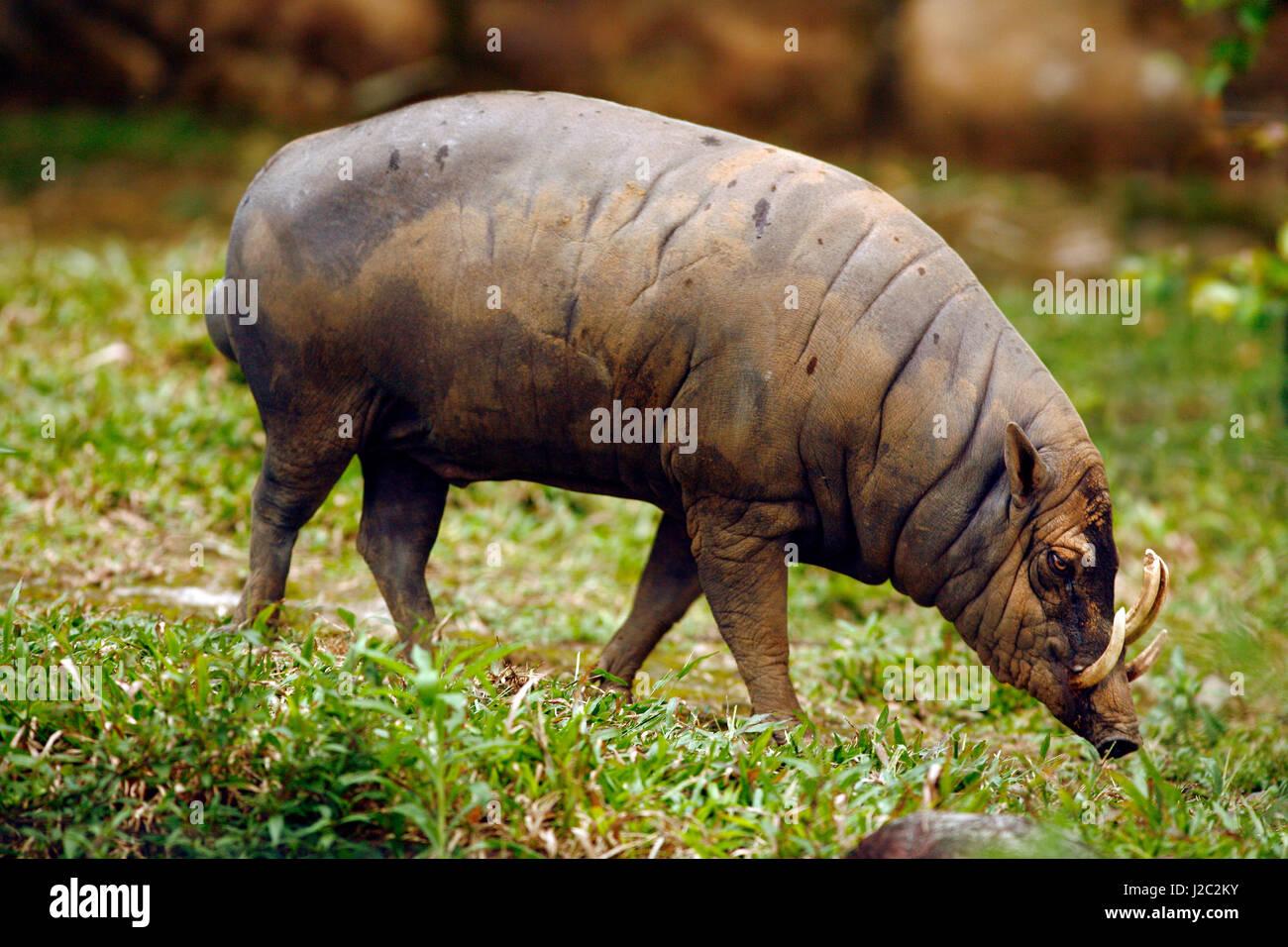 Asia, Indonesia, Sulawesi, Gorontalo. Babirussa wild pig. - Stock Image