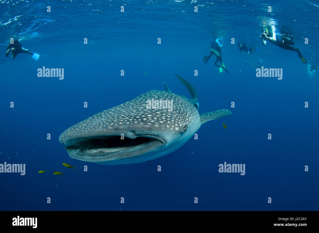 Whale Shark and people. Cenderawasih Bay, West Papua, Indonesia Stock Photo