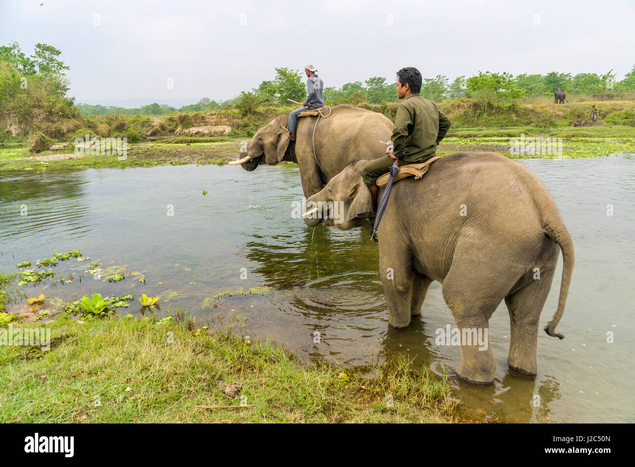 Two male elephants with big molar teethare crossing the Rapti River in Chitwan National Park - Stock Image