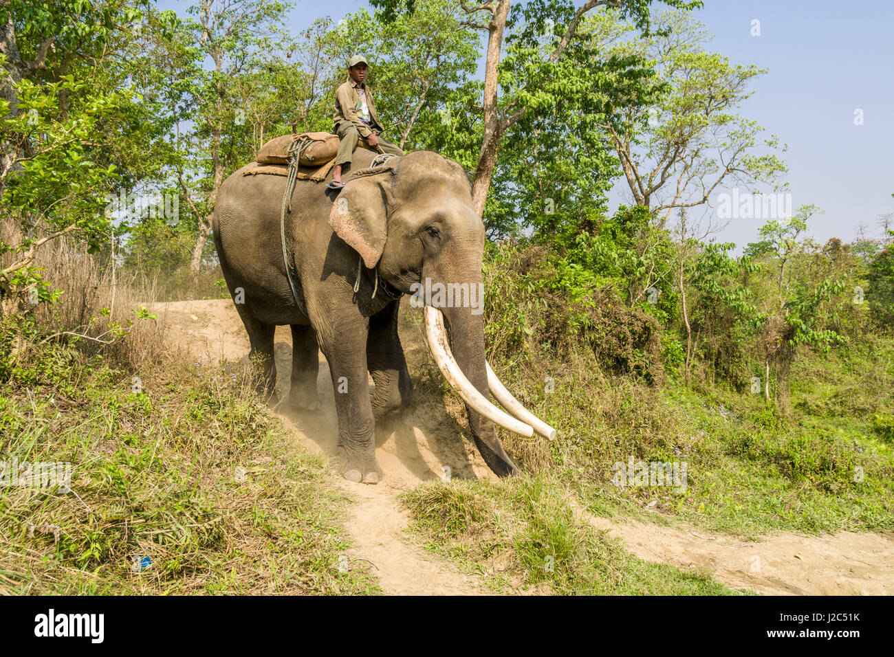A male elephant (Elephas maximus indicus) with big molar teeth is carrying his mahout in Chitwan National Park - Stock Image