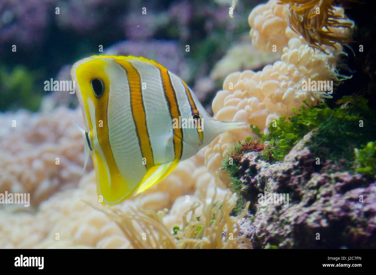 Australia, Sydney. Sydney Sea Life Aquarium. Copperband butterflyfish (Chelmon rostratus) - Stock Image