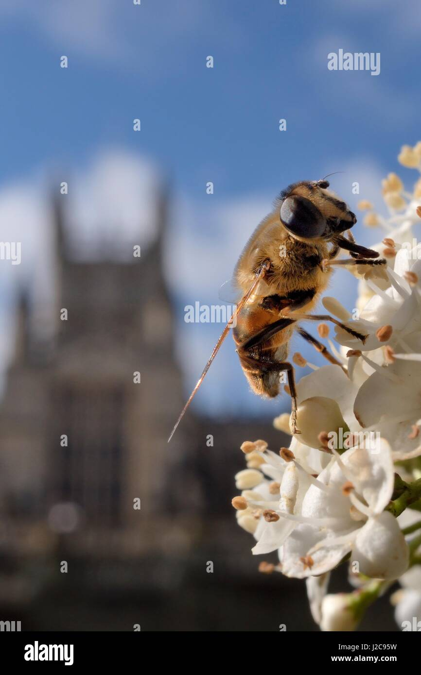 Drone fly (Eristalis tenax) foraging on white flowers in Parade Gardens park, with Bath Abbey in the background, - Stock Image
