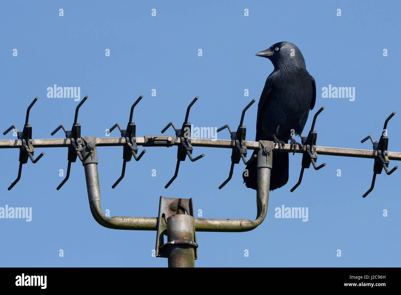 Jackdaw (Corvus monedula) perched on a TV aerial, Wiltshire, UK, April. - Stock Image